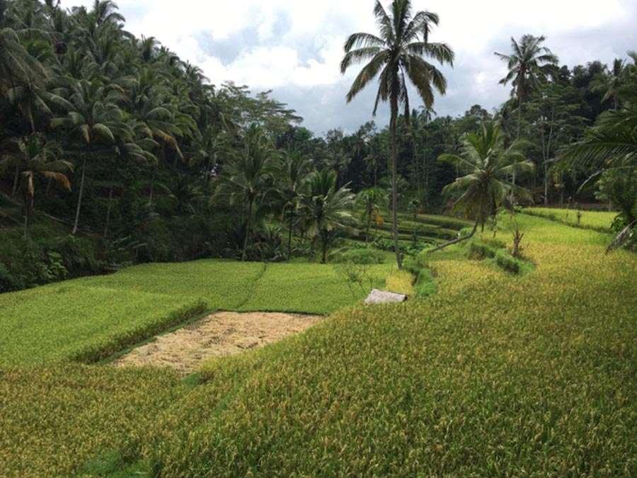 owa-rice-field