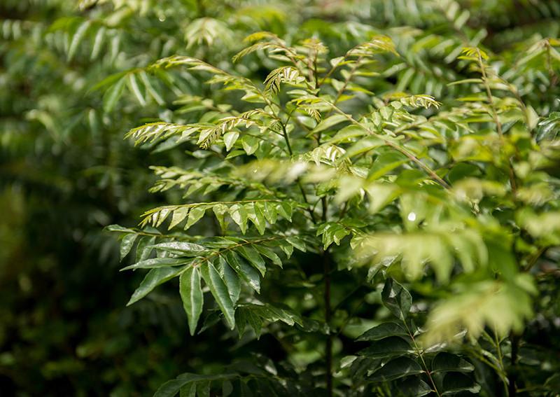 curry-leaves-murraya-koenigi